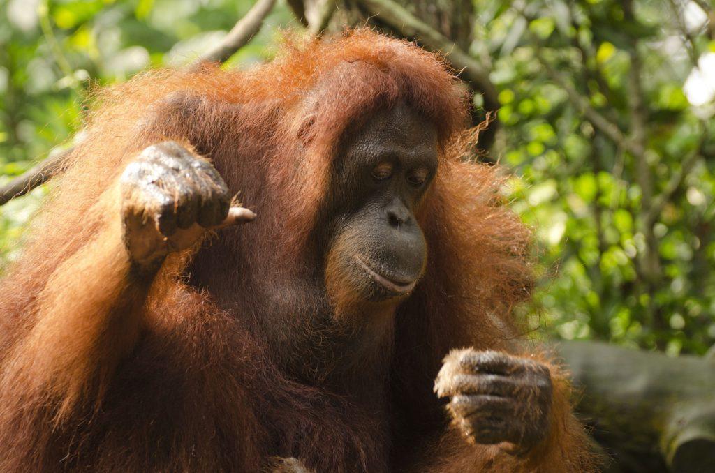 orangutan-681664_1920